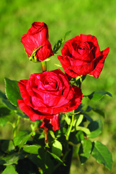 Red Intuition - Ludwigs Roses | Dark red stripes are splashed over a lighter bright red basic colour. Medium, pointed buds open into rounded blooms. Moderate thorns; stem length 40-60cm. Also available as garden rose. View info.