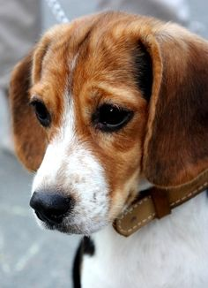 """""""Please don't eat all of your food... save some for me? please?"""" #worried #beagle"""