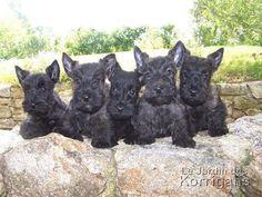 Scottish terrier   ... Jardin des Korrigans vous propose de découvrir les Scottish Terrier