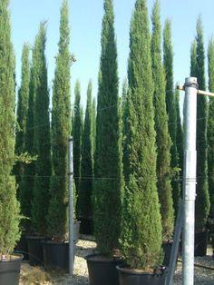 Cupressus sempervirens / mediterrane Säulenzypresse / Mittelmeerzypresse – bis zu 20 hohe, sehr schmal wachsende Zypresse mit weichen Nadeln und einem aromatischen, intensiven Geruchm der direkt an Urlaub erinnert