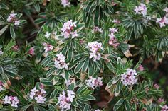 truly the best plant ever - blooms and is evergreen nearly all year round even in cold climates.  Fragrant, too.