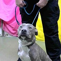 Pictures of URGENT 11/25 @ DEVORE a Pit Bull Terrier for adoption in San Bernardino, CA who needs a loving home.