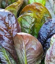 Good Food: Best Ever romaine lettuce and gastritis shows and experts