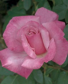 JP: First Prize (Golden Masterpiece - 1970) - Swirled Hues of Rose-pink Very Large Double Hybrid Tea Rose