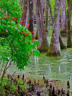 ✯ Bald Cypress And Red Buckeye - Mississippi