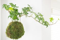 Kokedama, or Japanese moss balls, are the perfect way to add greenery to your home without pots cluttering up the windowsill. Learn how to make your own!