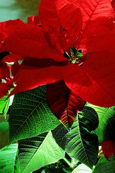 """Poinsettia – (purity – celebration – Christmas)  Poinsettias are also known as the """"Christmas flower"""" and """"Mexican flame leaf."""" Poinsettias originally came from Mexico and Central America. A Christmas legend tells the tale of a poverty stricken child, too poor to buy a present for the Christ child, who plucked a weed from the side of the road. The plant magically blossomed in red and green flowers just as he entered the church."""