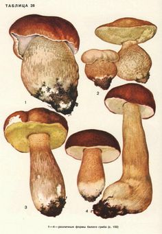 for mushrooms in the autumn woods - priceless Nature Illustration, Botanical Illustration, Wild Mushrooms, Stuffed Mushrooms, Mushroom Pictures, Mushroom Art, Botanical Prints, Painting Inspiration, Vintage Posters