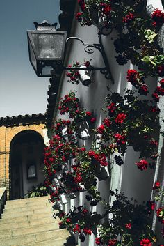 Geraniums of Córdoba, Spain. This would be gorgeous on a Spanish Colonial Revival. (PDD)