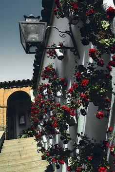 Geraniums of Córdoba, Spain