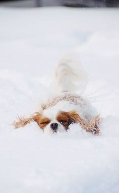 ♥ Winter and a King Charles Cavalier