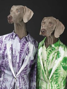 The latest campaign for Acne Studios features a pair of fashionable Weimaraners shot by one of the most famous Weimaraner photographers of all: William Wegman. William Wegman, Weimaraner, Saint Yves, Funny Dogs, Cute Dogs, Photocollage, Funny Dog Pictures, Animal Heads, Diy Funny