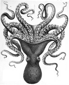 Loats of fabulous colour and black and white octopus images to download Octopus Species, Octopus Images, Octopus Drawing, Octopus Painting, Inspiration Artistique, Octopus Print, Octopus Octopus, Octopus Tattoos, Picture Boxes