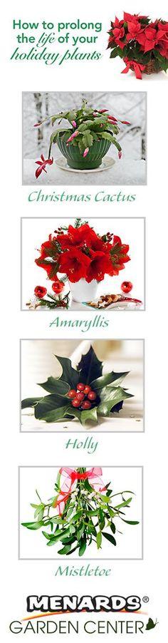 Prolong The Life Of Your Holiday Plants. http://www.menards.com/main/c-19270.htm?utm_source=pinterest&utm_medium=social&utm_campaign=gardencenter&utm_content=holiday-plants&cm_mmc=pinterest-_-social-_-gardencenter-_-holiday-plants