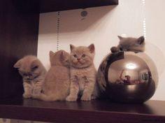 Смешные британские котята устроились на полке
