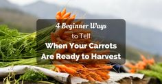 4 Beginner Ways to Tell When Your Carrots Are Ready to Harvest