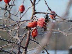 9/365 Frozen Rose przez Wojtek na tookapic