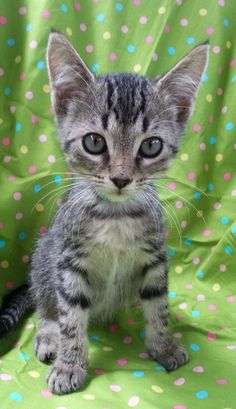 Meet Pluto 22495, a Petfinder adoptable Domestic Short Hair Cat | Prattville, AL | Pluto is an 11-week old, male tabby kitten.Dogs and puppies may be adopted for a fee of $120. All...