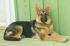 Big, Old Fashioned German Shepherds