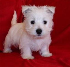 I want a Westie so bad. I want to name him George and dress him in plaid.