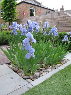 "Iris Bed - 'Jane Phillips' RHS AGM. The bed of Iris ""Jane Phillips"" separates the lawn and deck giving further interest to the space and provides all year round foilage texture."