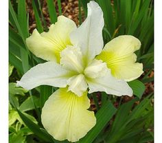 Iris sibirica Chartreuse Bounty - Variations of yellow and chartreuse combine to form elegant, blossoms delicately traced with green veins. Iris Flowers, Colorful Flowers, Planting Flowers, Cut Flowers, Growing Irises, White Flower Farm, Herbaceous Border, Deer Resistant Plants, Sun Loving Plants