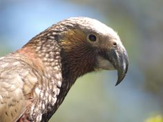 Kaka - Endemic Native NZ Bird