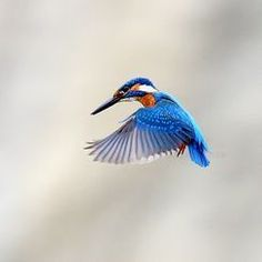 Kingfisher in Hunting Mode — Photos -- National Geographic Your Shot