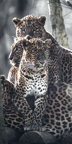 Safari Adventure / karen cox. Leopards ⭕️