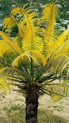 Chief s golden namele cycas species Purple Plants, Tropical Plants, Cactus Plants, Beautiful Landscapes, Beautiful Gardens, Palmetto Tree, Red Palm Oil, Garden Waterfall, Home Garden Design