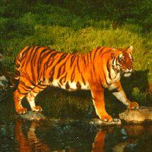 Endangered Tigers --> http://worldessay.net/index.php/2011/06/protecting-indias-endangered-tigers-world-essay
