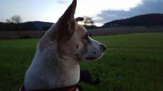 #Akita #kyra #Hunde #dogs