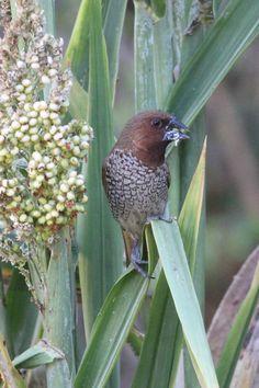 Nutmeg Mannikin (introduced species)