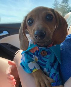 Adorable puppy images of the day. Here are our collection of the latest unbelievable puppy pictures that are way cuter Pug, Funny Dachshund, Dachshund Puppies, Weenie Dogs, Dachshund Love, Cute Dogs And Puppies, Funny Dogs, Chihuahua, Daschund