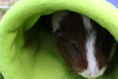 Hi Mr Guinea Pig here, I have got a brand new article all about common illnesses. So if you have a guinea pig and are concerned it may have a serious issue, then take a look and see if what its experiencing is listed. Guinea Pig Care, Guinea Pigs, Petunias, Pets, Animals, Animales, Animaux, Animal, Animais