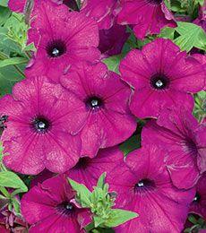 Petunia Sanguna® Purple