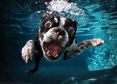 Here is an amazing photo of a Boston Terrier dog by Seth Casteel. This is one of his pictures with a Boston Terrier photographed underwater. Boston Terriers, Boston Terrier Love, Terrier Dogs, Funny Dogs, Funny Animals, Cute Animals, Funny Bulldog, Scary Funny, Funny Humor