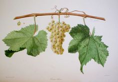 Pineau blanc from 'Ampélographie française', by Victor Rendu. Paris, 1857. Ampelographies describe and often illustrate grape varieties. The hand-coloured lithographs of Eugene Grobon make this book possibly the most prized of the great ampelographies of the nineteenth and early twentieth centuries.