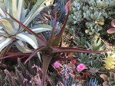 Aloe cameronii - 19/9/17