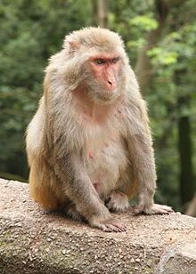 Rhesus Macaque-- (Macaca mulatta) is one of the best-known species of Old World Monkeys. It is listed as least concern in the IUCN Red List of Threatened Species in view of its wide distribution, presumed large population, and its tolerance of a broad range of habitats. Native to South, Central, and Southeast Asia, troops of M. mulatta inhabit a great variety of habitats, from grasslands to arid and forested areas, but also close to human settlements.