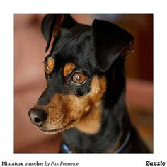 Mini Pinscher, Doberman Pinscher Puppy, Miniature Pinscher, Chihuahua Dogs, Dogs And Puppies, Doggies, Chihuahuas, Animals And Pets, Cute Animals