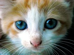 "For those who wonder why ""puppy dog eyes"" are a thing and yet kitty cat eyes aren't 
