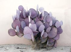 I think this is Opuntia violacea 'Santa Rita' | would add a lovely splash of color (purple) to a desert garden