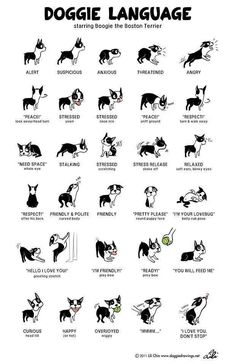 Boston Terrier Language - OMG I love My Boston Terrier! :) He does these exact things !
