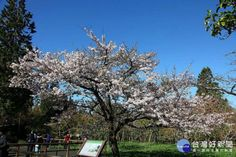 阿里山吉野櫻王盛開 灑滿一片雪白色的浪漫 - Yahoo奇摩新聞