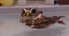 This Little Burrowing Owl Loves Baths, And He Takes Them In The Cutest Possible Way
