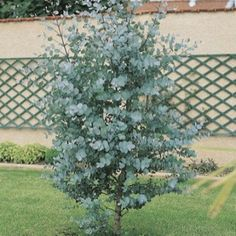 Other shrubs for foliage for flower arrangements to plant in your garden inc: eucalyptus gunnii Not to plant in cutting patch as they'll take up too much room Diy Pergola, Pergola Shade, Front House Landscaping, Backyard Landscaping, Garden Shrubs, Garden Trees, Outdoor Plants, Outdoor Gardens, Vegetable Garden