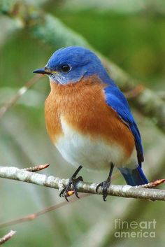 Bluebird On Branch Photograph by Crystal Joy Photography