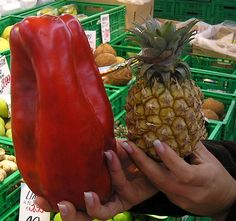 Would you eat a red pepper that big? Don't fall for the GMO okey-doke