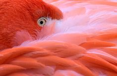A flamingo hides its head in its feathers on a cold Friday, Jan. 23, 2015 at the zoo in Cologne, Germany.   Photo by Martin Meissner of Associated Press.